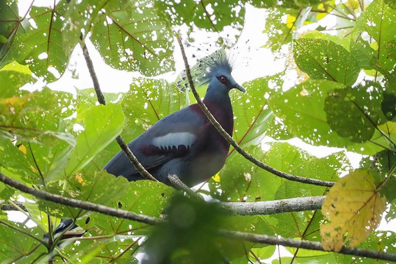 Victoria Crowned Pigeon by Stephan Lorenz