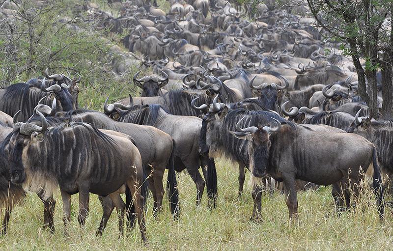 Wildebeest herd by Rainer Summers