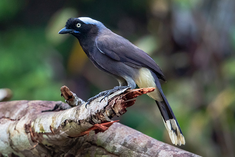 Azure-naped Jay by Adam Riley