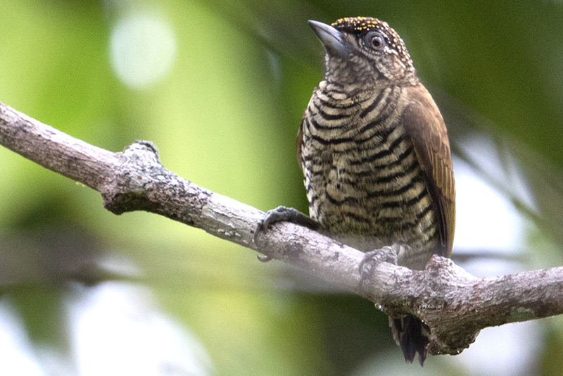 Orinoco Piculet by Adam Riley