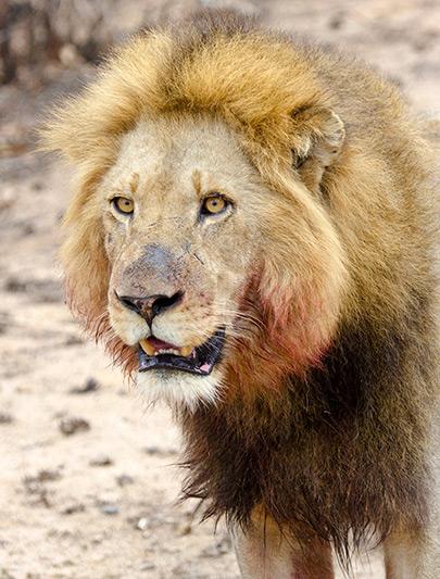 A close-up of the lion by George L. Armistead
