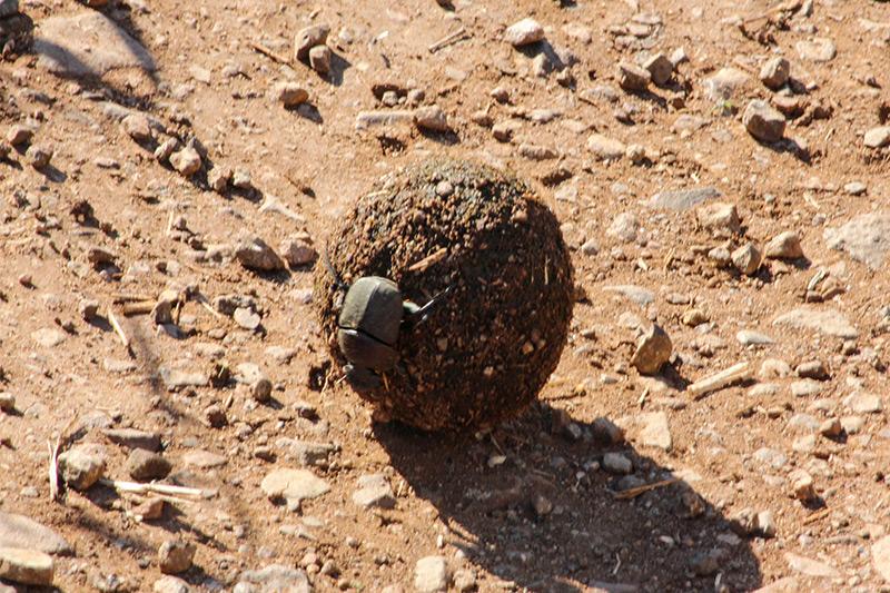 Dung Beetle by Praniel Dhanesar