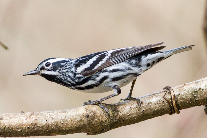 Black-and-white Warbler by George L. Armistead