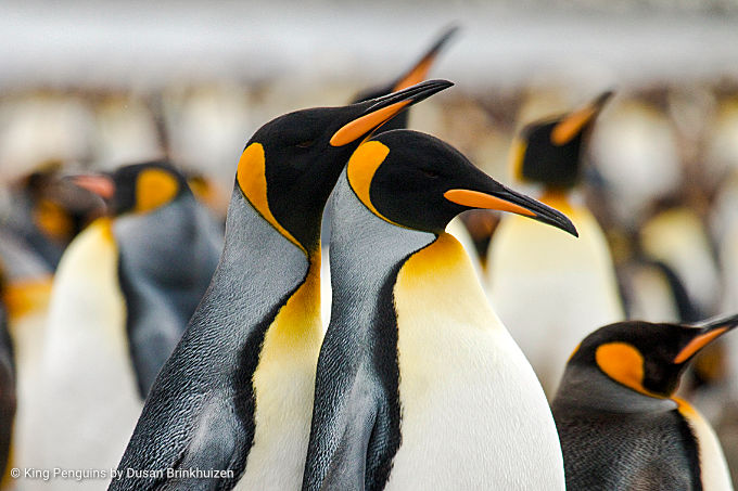 Antarctica & the sub-Antarctic Islands Birding