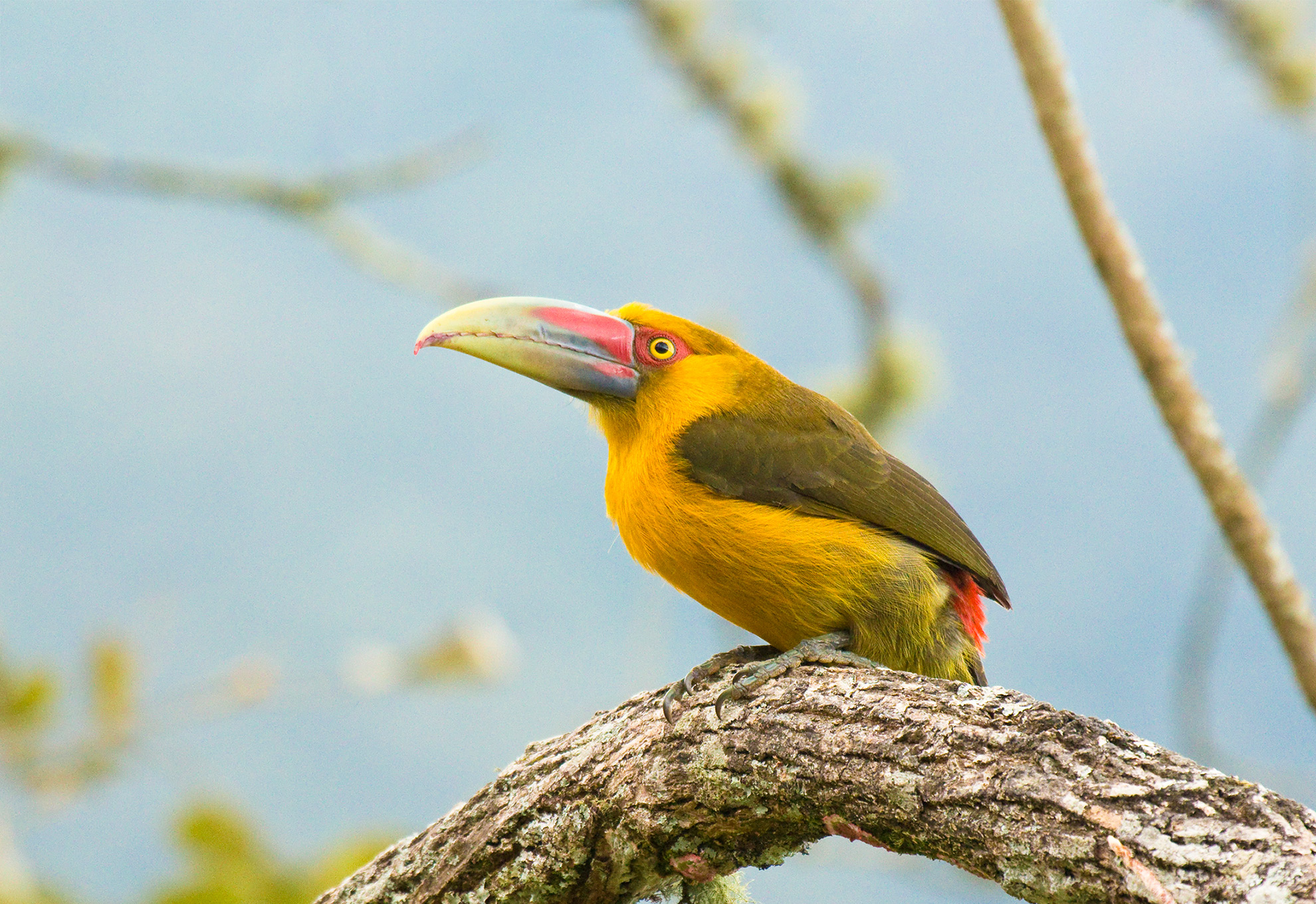 birding tours in brazil with saffron toucanet