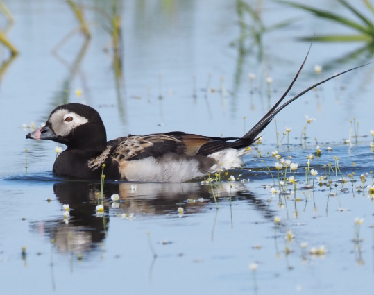 Long-tailed Duck by Stephan Lorenz