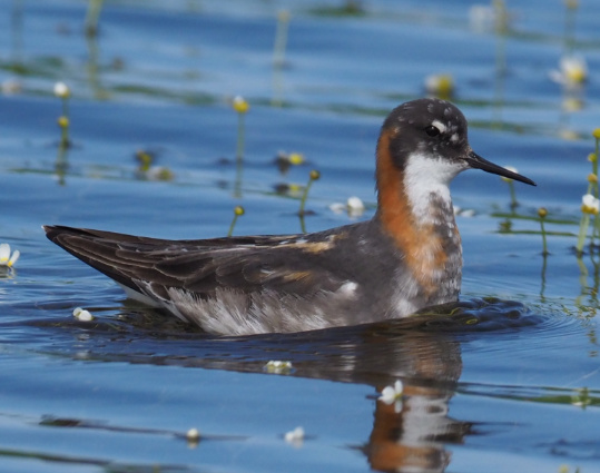 Red-necked Phalarope by Stephan Lorenz