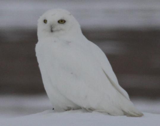 Snowy Owl by Stephan Lorenz