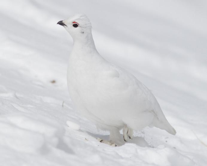 White-tailed-Colorado Ptarmigan by Stephan Lorenz