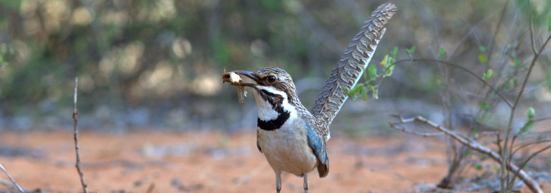 Madagascar - Comprehensive Birding Tour
