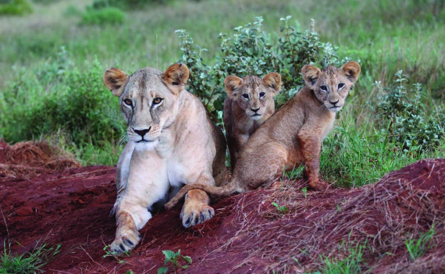 Lioness and cubs by Keith Valentine